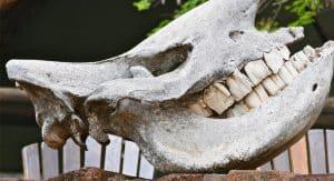 Skull of rhinocerus